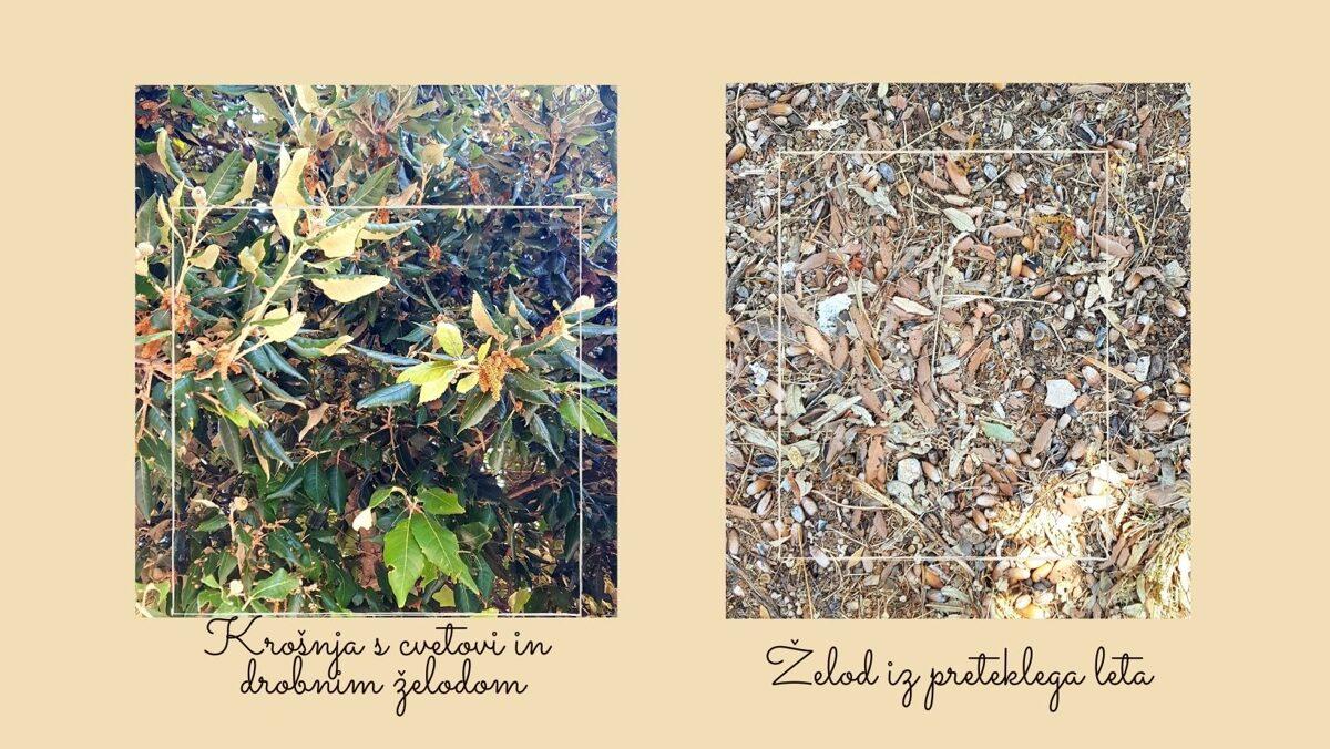 hrastovo drevo v Dubrovniku